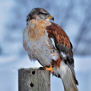 hawk-in-snow-4k-8x-3840x2160.jpg